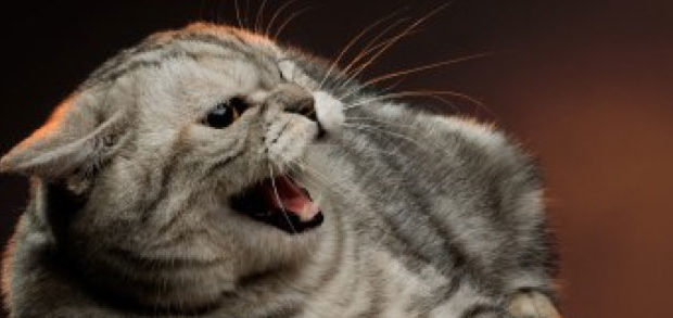What is Feline re-directed aggression?