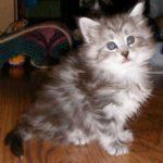 Zaza as a kitten
