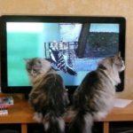 Zaza and Kiki watching their fav Cat Dreams DVD