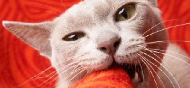 feline-pica