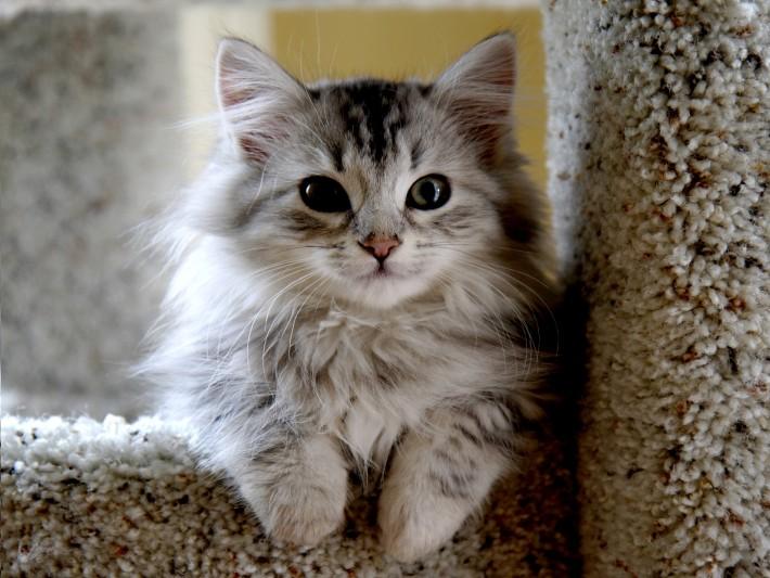Siberian Forest Kitten...