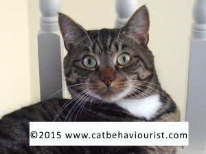 image library - staring tabby cat