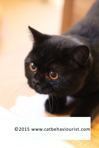 image library - cute black kitten