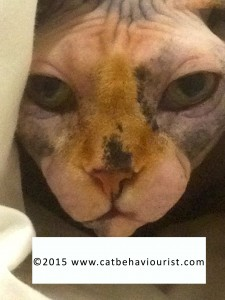 image library Sphynx adult cat