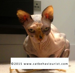 Sphynx adult cat face