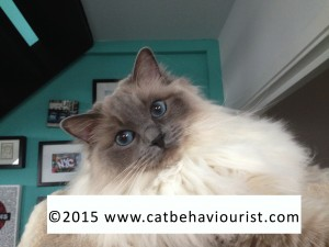 image library - beautiful adult Ragdoll