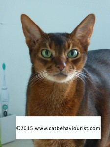 image library - Abyssinian adult cat