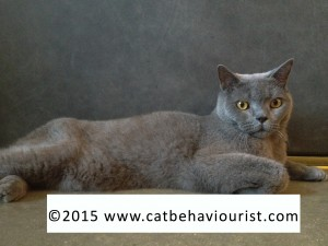 image library - stunning Russian Blue cat