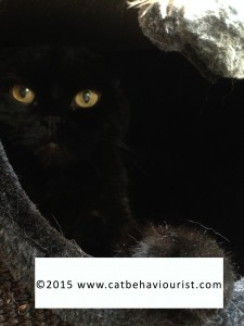 image library Scottish Fold cat