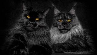 amazing black cats_1024