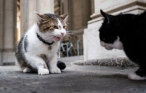 LARRY AND PALMERSTON CAT FIGHT