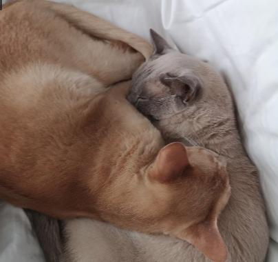 Burmese feline behaviour help